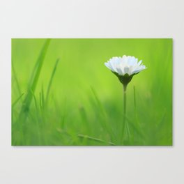 Massive Daisy Canvas Print