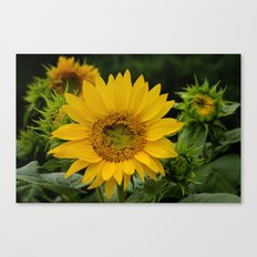 September Sunflower Canvas Print