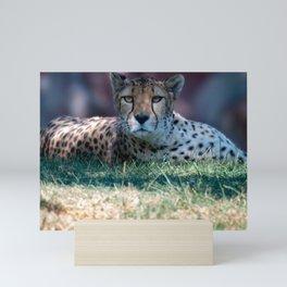 Cheetah laying in grass staring at camera Mini Art Print