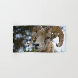 Big Horn Sheep in Jasper National Park Hand & Bath Towel