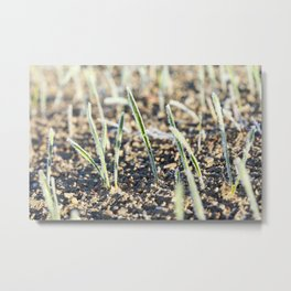 green wheat in frost, close-up Metal Print