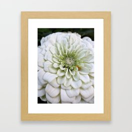 Pale Green Zinnia Framed Art Print