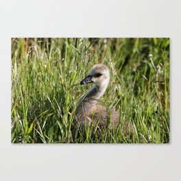 Chick in the Grass Canvas Print