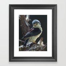 African Pygmy Falcon Framed Art Print