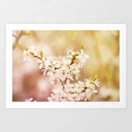 Blooming Cerasus cherry tree Art Print