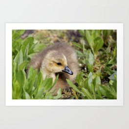 Gosling Under Cover Art Print