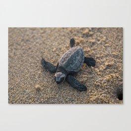 Baby Sea Turle Canvas Print
