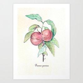 Prunus Persica Art Print