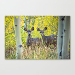 Double Take - Pair of Young Mule Deer Hiding in Autumn Aspens Canvas Print