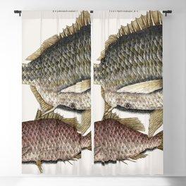 Rockfish (Perca venenosa) from The natural history of Carolina Florida and the Bahama Islands (1754) Blackout Curtain
