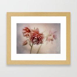 Dark red columbine flowers Framed Art Print