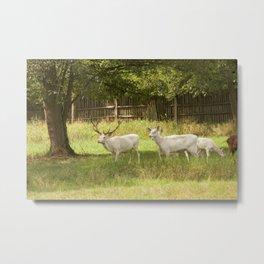 Leucistic deer herd Metal Print