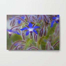 Borage flower colour Metal Print