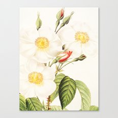III. Vintage Flowers Botanical Print by Pierre-Joseph Redouté - Rosa Damascena Subalba Canvas Print
