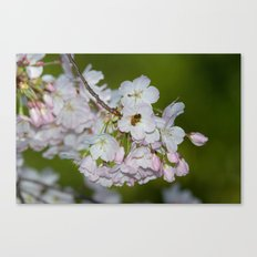 Cherry Blossoms and Bee Canvas Print
