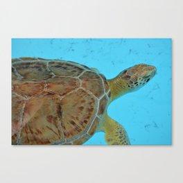 Florida Turtle Canvas Print