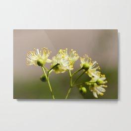 flowering linden trees Metal Print