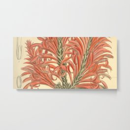 Aphelandra tetragona, Acanthaceae Metal Print