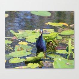 Purple Gallinute Canvas Print