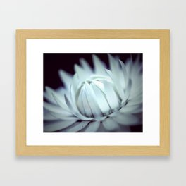 Strawflower in Bloom Framed Art Print