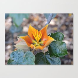 Fremontodendron Blossom Canvas Print
