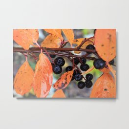 Choke Berries in Autumn Metal Print