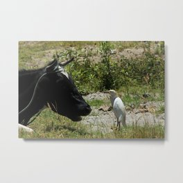 Cattle Egret and Holstein Cow Metal Print