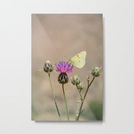 Clouded Yellow Butterfly Metal Print