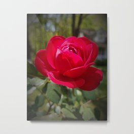 Rose in Jackson  Metal Print