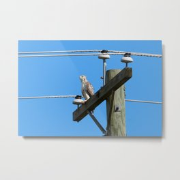 Red Tailed Hawk on Telephone Pole 1 Metal Print