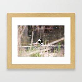Hooded Merganser Swims Framed Art Print