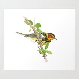 Cape May Warbler Art Print