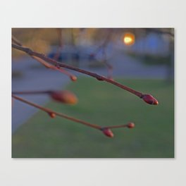 buds on a Tree Canvas Print