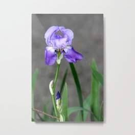 Lilac Bearded Iris Metal Print