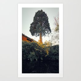 A Welsh redwood and Japanese knotweed Art Print