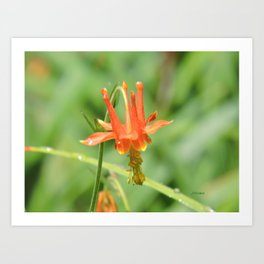 Columbine in the Breeze Art Print