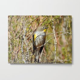 Yellow Rumped Warbler Metal Print