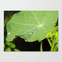 Morning Nasturtium Canvas Print