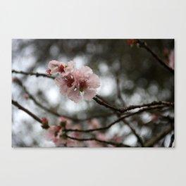 Spring - Oriental Cherry Canvas Print