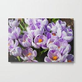 Purple and White Crocuses Metal Print