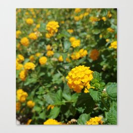 Yellow Chrysanthemum in Focus Canvas Print
