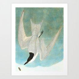 Marsh Tern Art Print