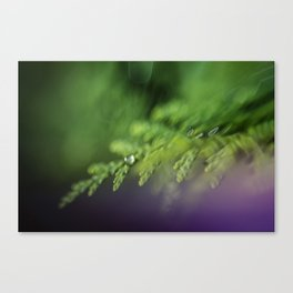 dew drops on the cedar; early morning macro  Canvas Print