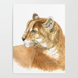 Sunbathing American Mountain Lion Poster