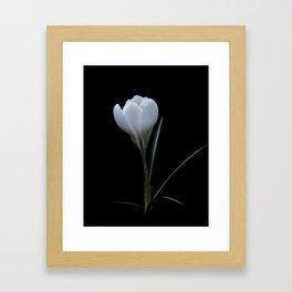 white crocus on black Framed Art Print
