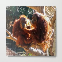 Orangutans at Feeding Metal Print