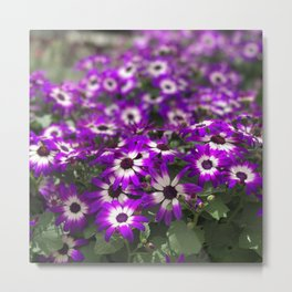 Cineraria Flower Metal Print