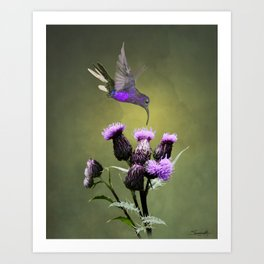 Violet Sabrewing Hummingbird and Thistle Art Print