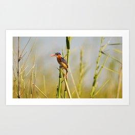 malachite kingfisher Art Print