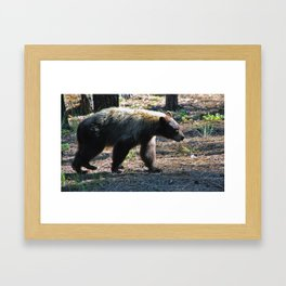 Brazos Canyon Bear Framed Art Print